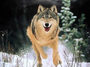 Статусы про волков