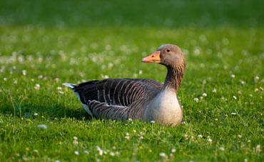 Статусы про гусей
